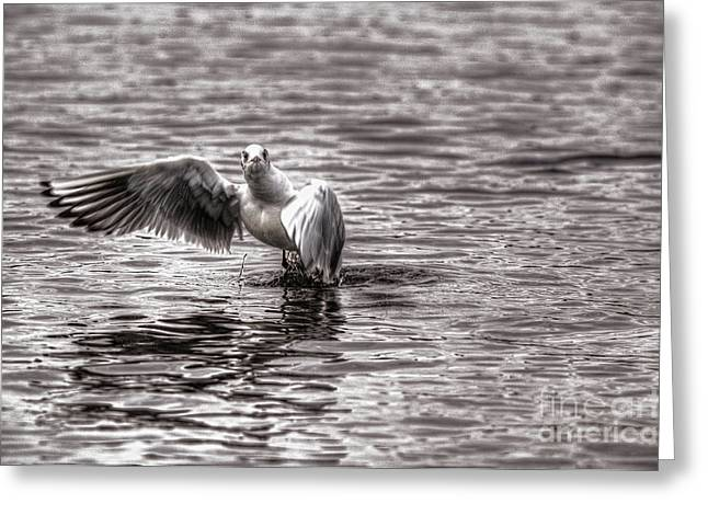 Flying Seagull Greeting Cards - Gull Greeting Card by Nigel Bangert