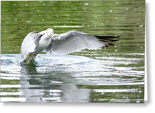 Droplet Paintings Greeting Cards - Gull Takeoff Greeting Card by Mohamed Hirji