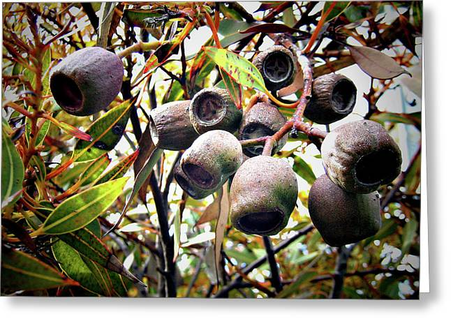 Nut Trees Greeting Cards - Gumnut Grouping Greeting Card by Douglas Barnard