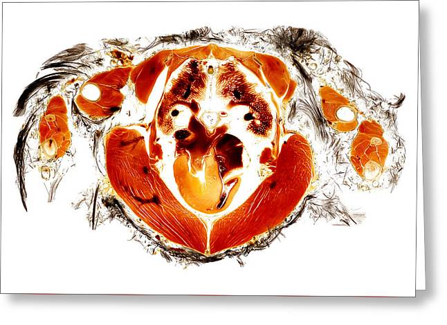 Air Sculptures Greeting Cards - Gyr falcon anatomy cross section  Greeting Card by Christoph Von Horst