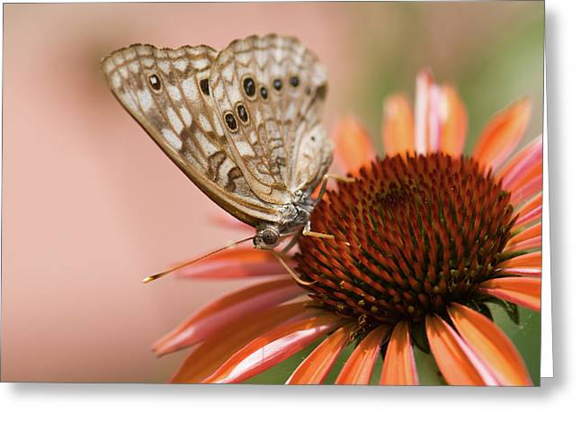 Hackberry Greeting Cards - Hackberry Emperor Butterfly Greeting Card by Betty LaRue