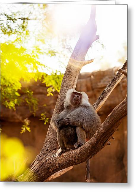 Zoology Greeting Cards - Hamadryas Baboon In Tree With Sun Flare Greeting Card by Susan  Schmitz