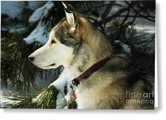Handsome Husky Nanuk Greeting Card by Marjorie Imbeau