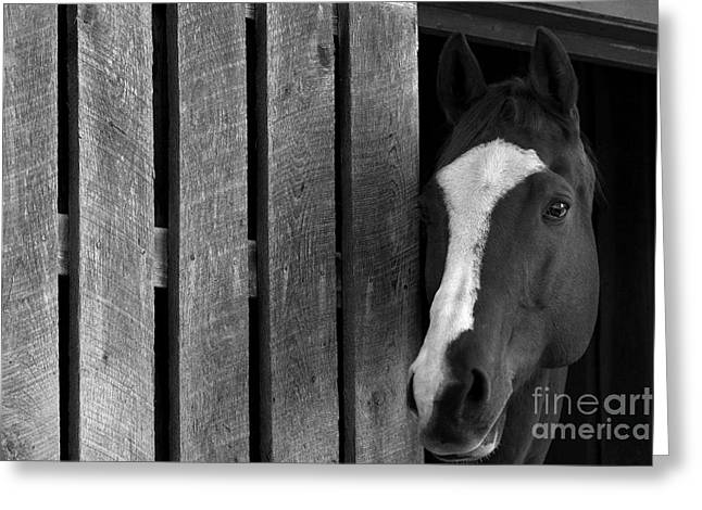 Quarter Horses Greeting Cards - Handsome T Greeting Card by Angela Rath