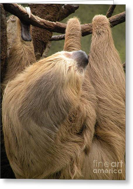 Sloth Greeting Cards - Hangin Out II Greeting Card by Christine Belt