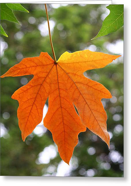 Fall Colors Greeting Cards - Hanging Leaf in Fall Greeting Card by Art Block Collections