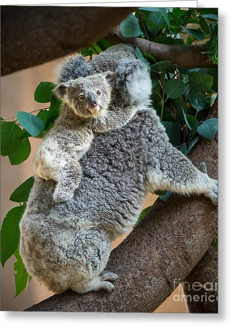 Koala Photographs Greeting Cards - Hanging On Greeting Card by Jamie Pham