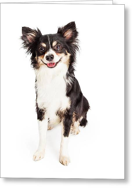 Short Hair Greeting Cards - Happy Chihuahua Mixed Breed Dog Sitting Greeting Card by Susan  Schmitz