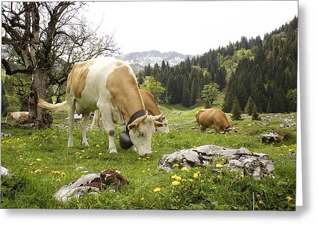 Swiss Photographs Greeting Cards - Happy Cows in High Pastures Greeting Card by Colleen Williams