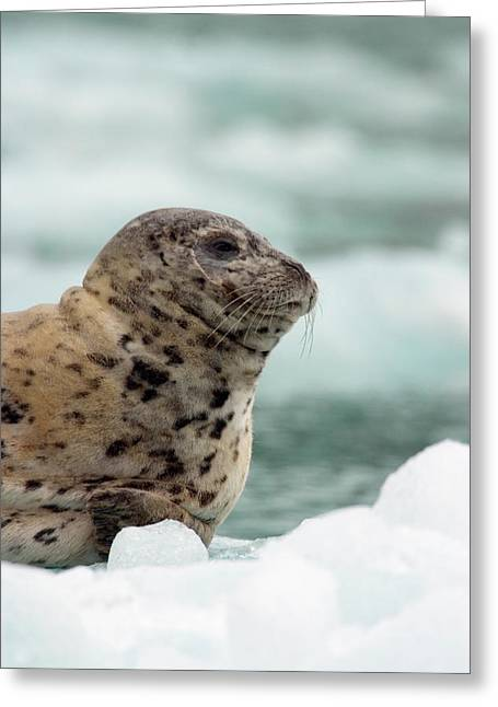 Tongass Greeting Cards - Harbor Seal Phoca Vitulina Pup On Ice Greeting Card by Ralph Lee Hopkins