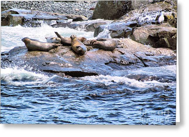 New England Ocean Greeting Cards - Harbor Seals at Rest Greeting Card by Elizabeth Dow