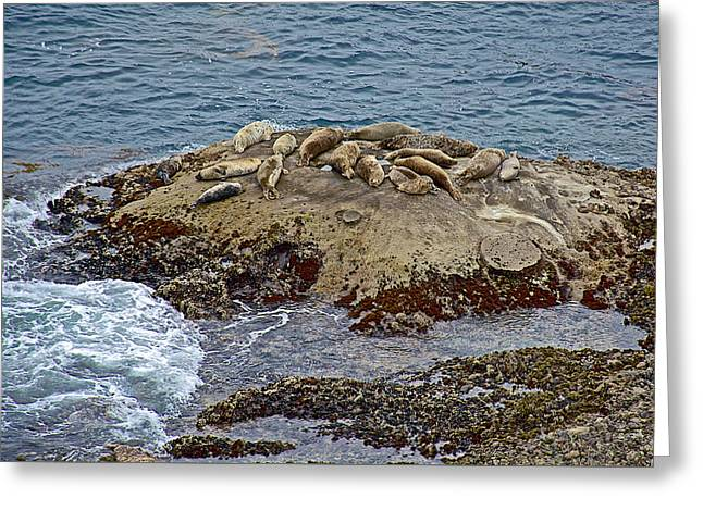 Point Lobos Reserve Greeting Cards - Harbor Seals in Point Lobos State Reserve near Monterey-California  Greeting Card by Ruth Hager