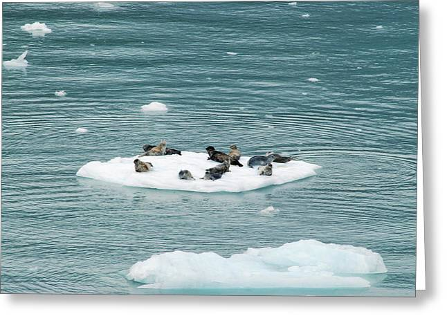Harbor Seals Greeting Cards - Harbor Seals Greeting Card by Michael Peychich