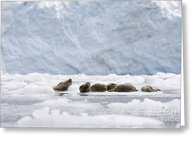 Harbor Seals Greeting Cards - Harbor Seals near Meares Glacier Greeting Card by Tim Grams