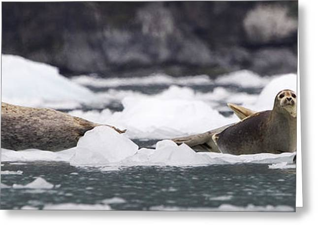 Ocean Mammals Greeting Cards - Harbor Seals on Ice Greeting Card by Tim Grams