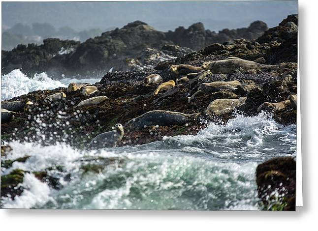 Ocean Mammals Greeting Cards - Harbor Seals on Rocks Greeting Card by Mike Fusaro