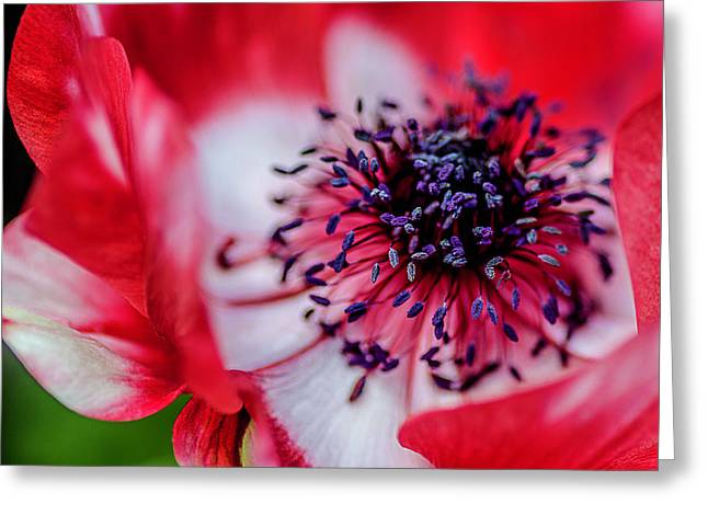 Harmony Scarlet Poppy Anemone Greeting Card by Julie Palencia