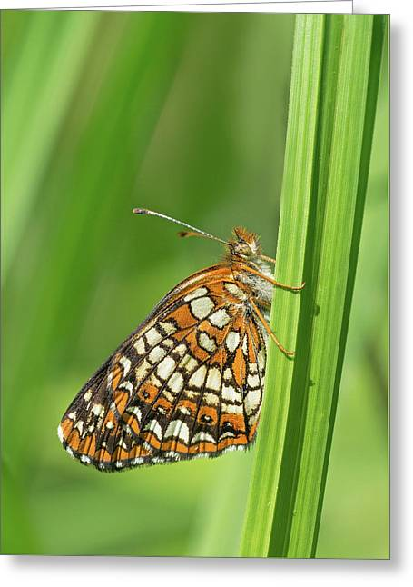 Harris' Checkerspot Greeting Card by Jim Zablotny