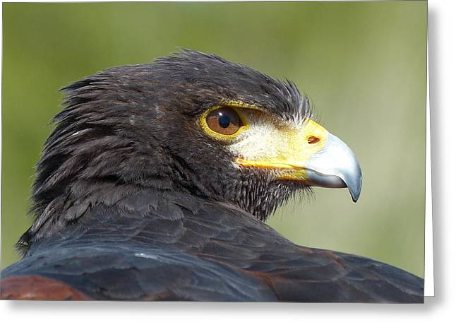 Nature Ceramics Greeting Cards - Harris Hawk Greeting Card by Lena Kouneva