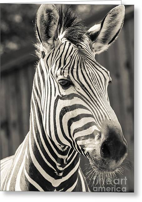 Zoology Greeting Cards - Hartmanns Mountain Zebra 2 Greeting Card by Marcin Rogozinski