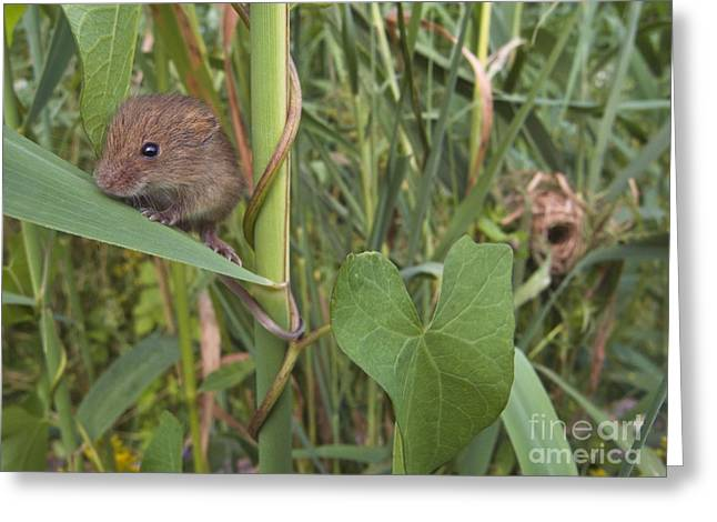 Mouse Photographs Greeting Cards - Harvest Mouse At Nest Greeting Card by Jean-Louis Klein & Marie-Luce Hubert