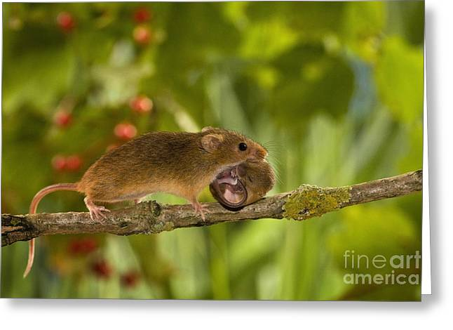 Mouse Photographs Greeting Cards - Harvest Mouse Carrying Pup Greeting Card by Jean-Louis Klein & Marie-Luce Hubert