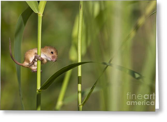 Mouse Photographs Greeting Cards - Harvest Mouse Climbing Plant Greeting Card by Jean-Louis Klein & Marie-Luce Hubert
