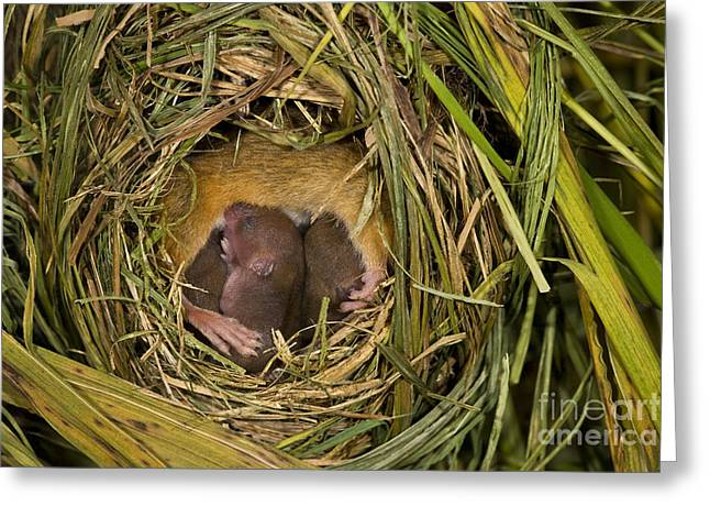 Mouse Photographs Greeting Cards - Harvest Mouse Nursing Pups Greeting Card by Jean-Louis Klein & Marie-Luce Hubert