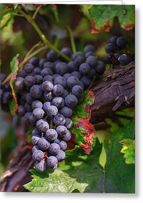 Harvest Time In Palava Vineyards Greeting Card by Jenny Rainbow