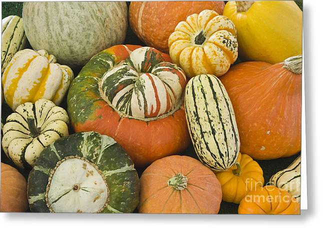 Spaghetti Greeting Cards - Harvested Winter Squash Greeting Card by Inga Spence