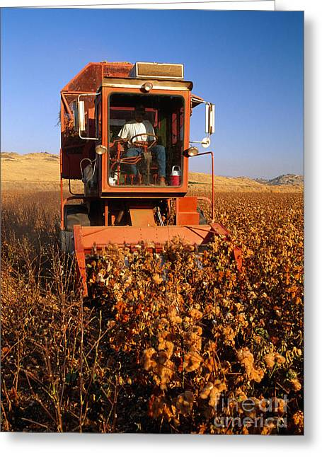 Farmers Field Greeting Cards - Harvesting Cotton Greeting Card by Inga Spence