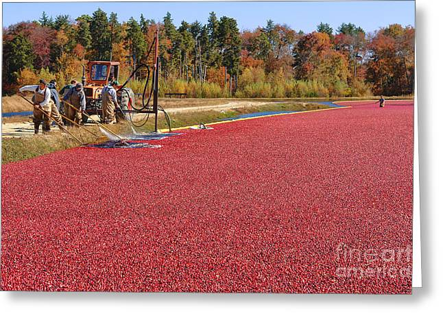 Harvesting Cranberries Greeting Card by Olivier Le Queinec