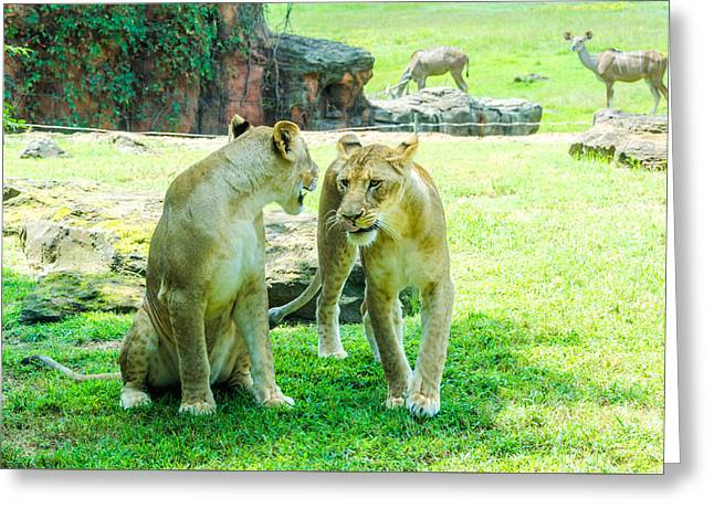 Lioness Greeting Cards - Have You Heard? Greeting Card by Darrell Clakley