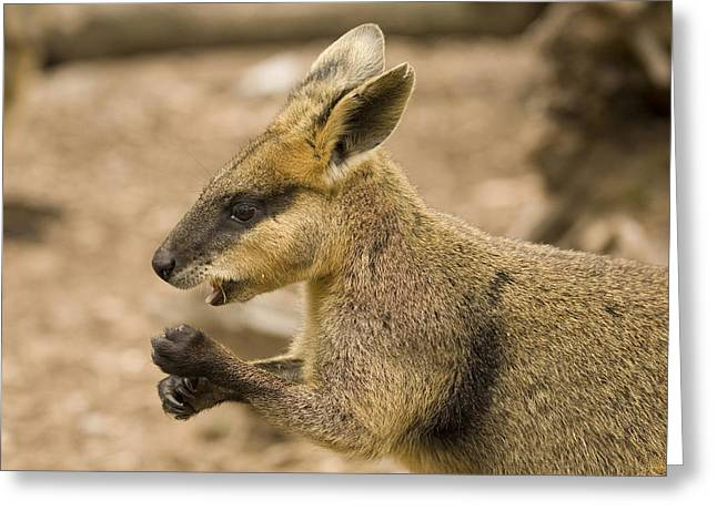 Marsupial Greeting Cards - Having a Snack Greeting Card by Mike  Dawson