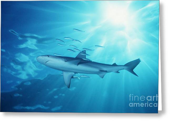 White Shark Greeting Cards - Hawaii Galapagos Shark Greeting Card by Ed Robinson - Printscapes
