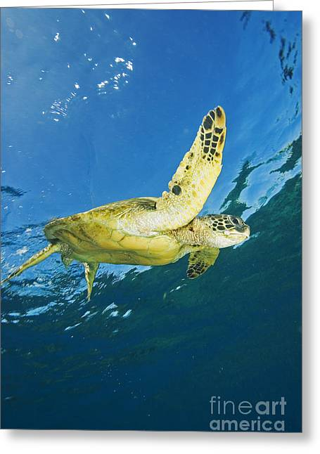 Animal Wisdom Greeting Cards - Hawaii, Green Sea Turtle Greeting Card by Ron Dahlquist - Printscapes