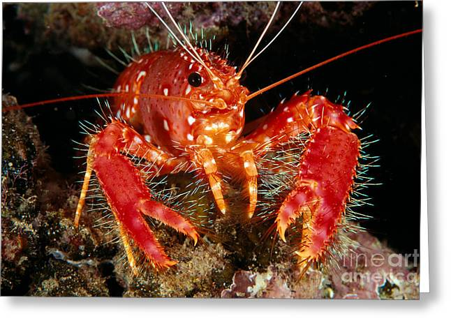 Ledge Photographs Greeting Cards - Hawaiian Lobster Greeting Card by Dave Fleetham - Printscapes