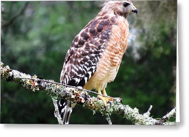 Flying Animal Greeting Cards - Hawk Eye Greeting Card by Mario Carta