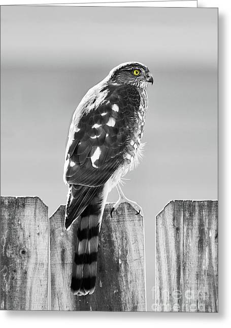 Cedar Fence Greeting Cards - Hawk in Black and White Greeting Card by Betty LaRue
