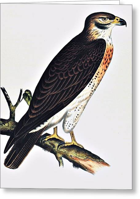 Noaa Greeting Cards - Hawk Swainsons Hawk Greeting Card by Movie Poster Prints