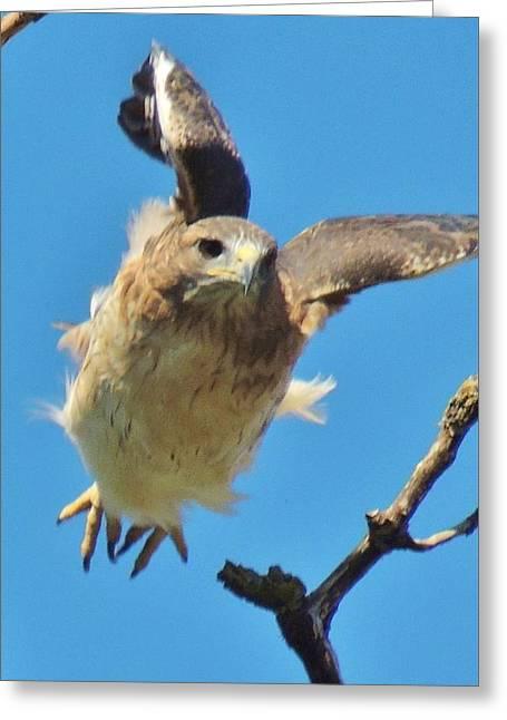 Photographs Greeting Cards - Hawkflight Greeting Card by Todd Sherlock