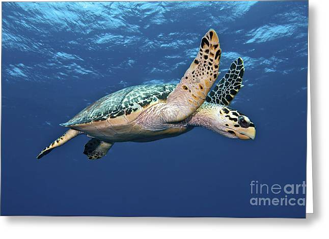 Sea Life Photographs Greeting Cards - Hawksbill Sea Turtle In Mid-water Greeting Card by Karen Doody