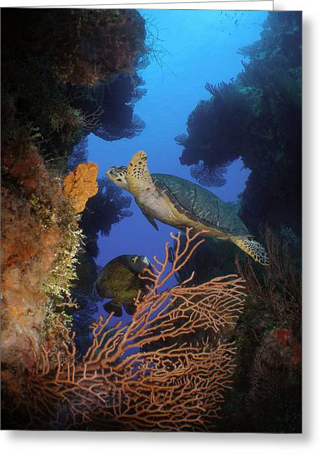 Snorkel Greeting Cards - Hawksbill Turtle and Angelfish Greeting Card by Brent Barnes