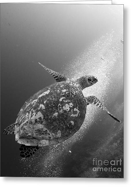 Undersea Photography Greeting Cards - Hawksbill Turtle Ascending Greeting Card by Steve Jones