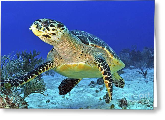 Undersea Photography Photographs Greeting Cards - Hawskbill Turtle On Caribbean Reef Greeting Card by Karen Doody