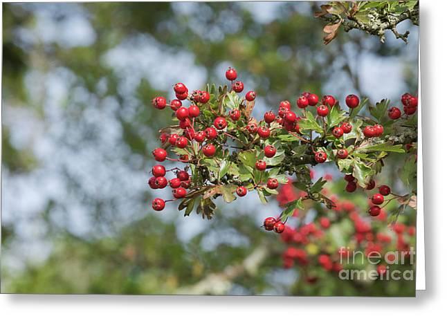Hawthorn Berries Greeting Card by Terri Waters