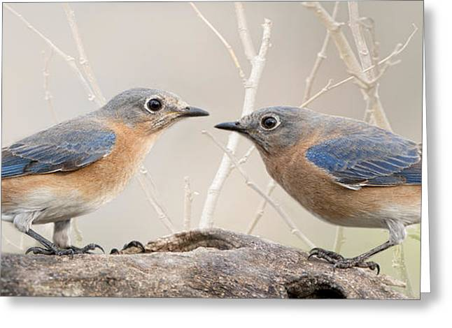 Eastern Bluebird Greeting Cards - Head to head confrontation Greeting Card by Bonnie Barry