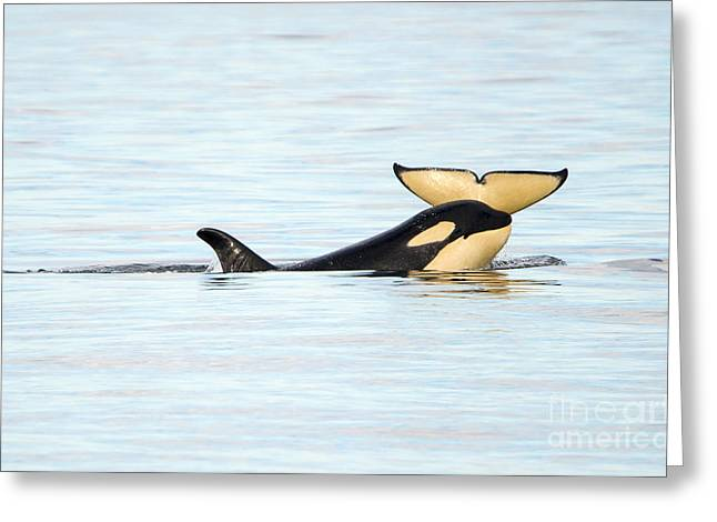 Whale Photographs Greeting Cards - Heads or Tails Greeting Card by Mike Dawson