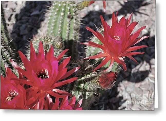 Hedgehog Cactus Greeting Card by Donna Greene