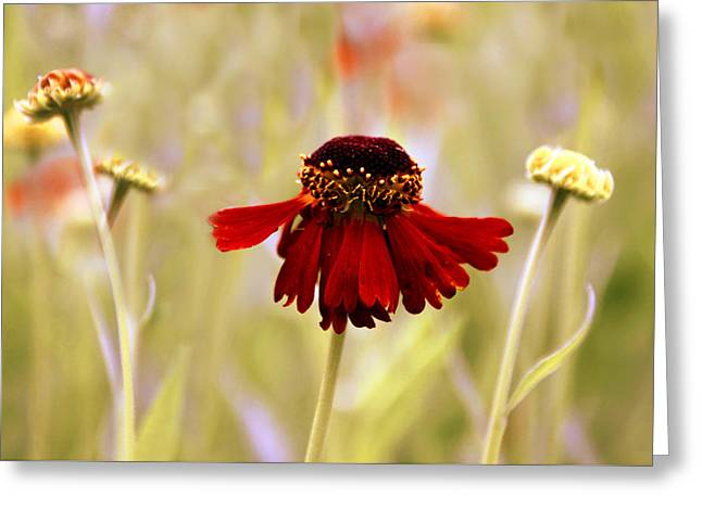 Daisy Bud Greeting Cards - Helenium Dance Greeting Card by Jessica Jenney
